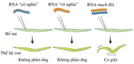 Biến đổi enzyme helicase ARN ở giun tròn làm tăng vòng đời của chúng gấp đôi có thể ứng dụng kéo dài tuổi thọ của con người